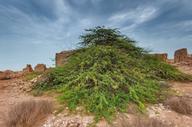 Mesquite tree (Prosopis juliflora, Prosopis chilensis)(?) in a village of Al Jumail (Jumayl) west of Ruwais. Northern Qatar, May 9, 2015