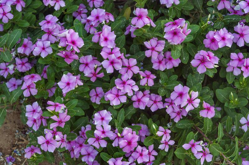 Vinca Vitesse Rose (Catharanthus roseus) in a park at Al Markhiya Street near a corner with Onaiza. Doha, Qatar, May 26, 2015