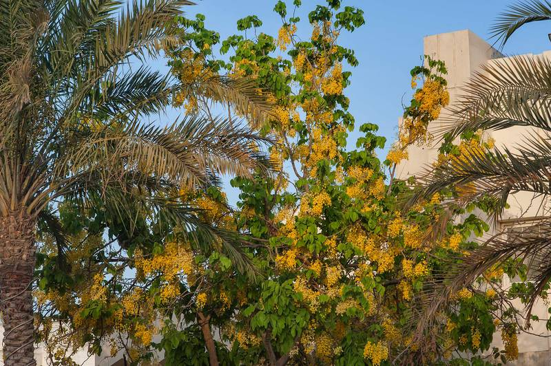 Golden shower tree (Cassia fistula) in Onaiza area. Doha, Qatar, May 28, 2015