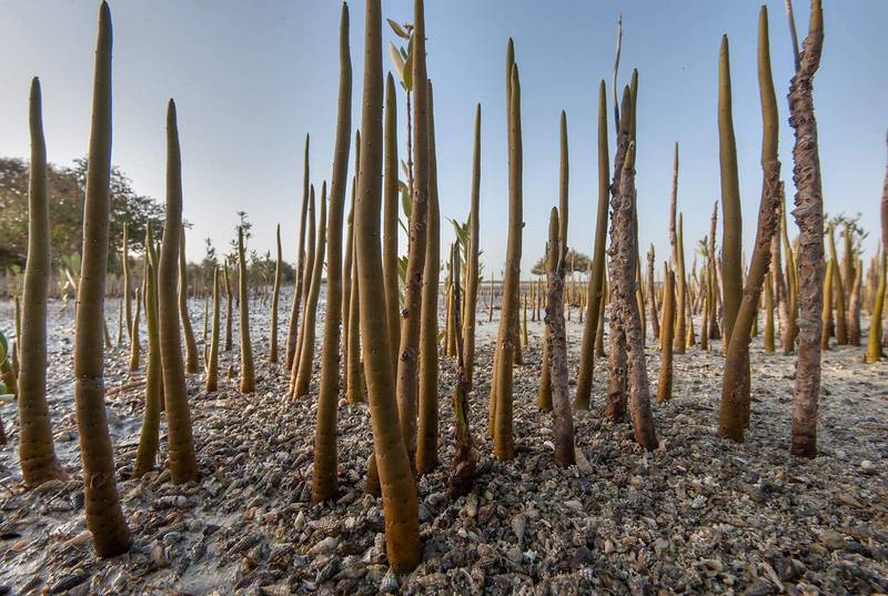 Aerial roots (pneumatophores) of mangroves (Avicennia marina) on littoral of Purple Island (Jazirat Bin Ghanim). Al Khor, Qatar, May 29, 2015