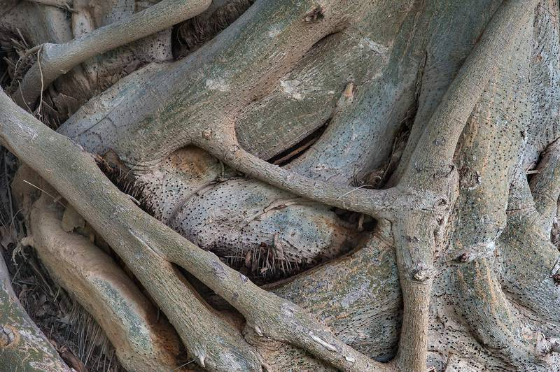 Trunk texture of Indian Banyan (Ficus benghalensis) in Aspire Park. Doha, Qatar, June 1, 2015