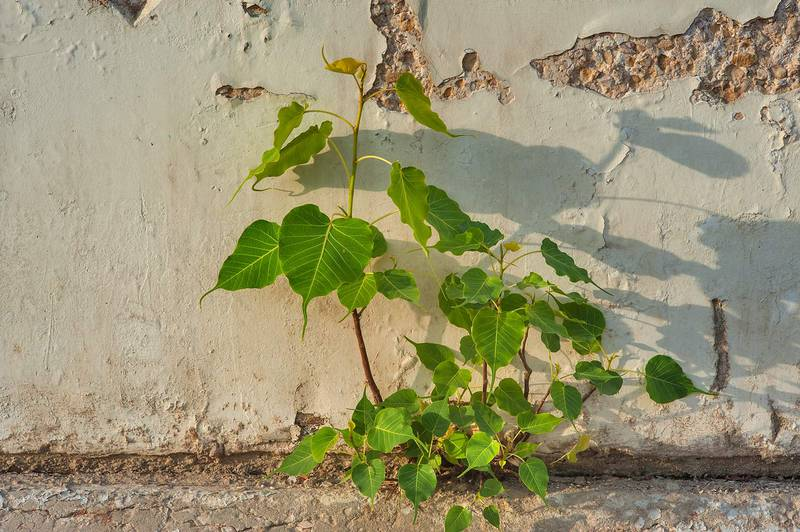 Seedling of sacred fig (Bo-Tree, Ficus religiosa) growing from stone fence in Onaiza area. Doha, Qatar, June 3, 2015