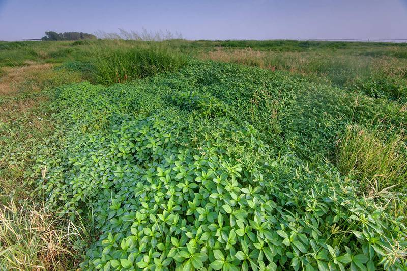 Invasive desert spurge (summer poinsettia, Euphorbia heterophylla) on Green Circles (center-pivot irrigation) in Irkhaya (Irkaya) Farms. Qatar, June 5, 2015