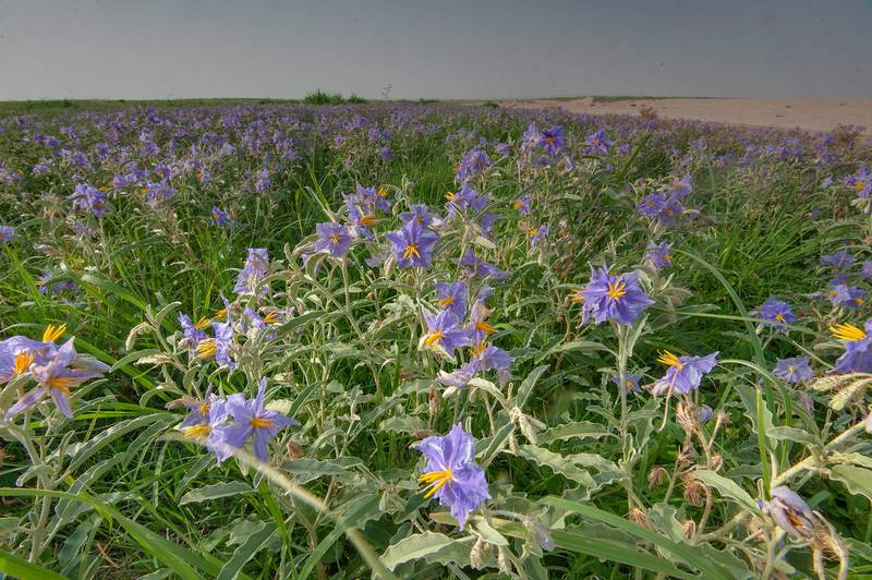 Blooming silverleaf nightshade (Solanum elaeagnifolium) on Green Circles (center-pivot irrigation) in Irkhaya (Irkaya) Farms. Qatar, June 5, 2015