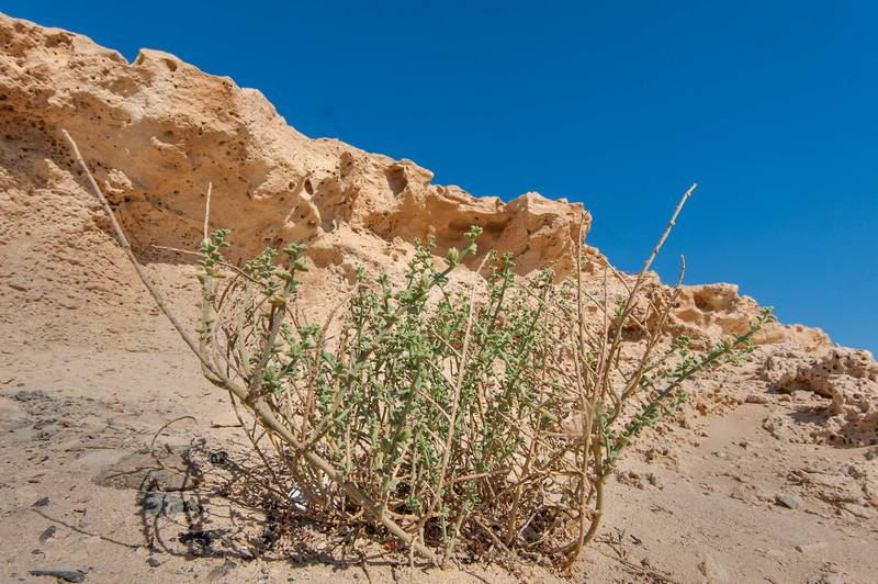 Plant of Lotus garcinii under the cliffs of Jebel Fuwairit. Northern Qatar, June 20, 2015