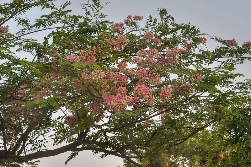 Pink shower tree (Cassia javanica) in Aspire Park. Doha, Qatar, June 25, 2015