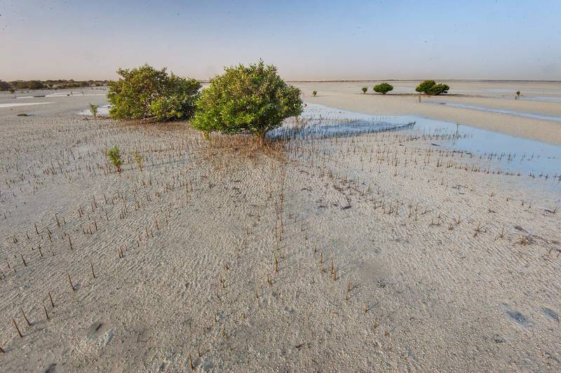 Grey mangrove (Avicennia marina, qurm, shourah) surrounded by aerial roots (pneumatophores) at low tide near a fishing village of Al Jumail (Jumayl) west of Ruwais. Northern Qatar, June 26, 2015