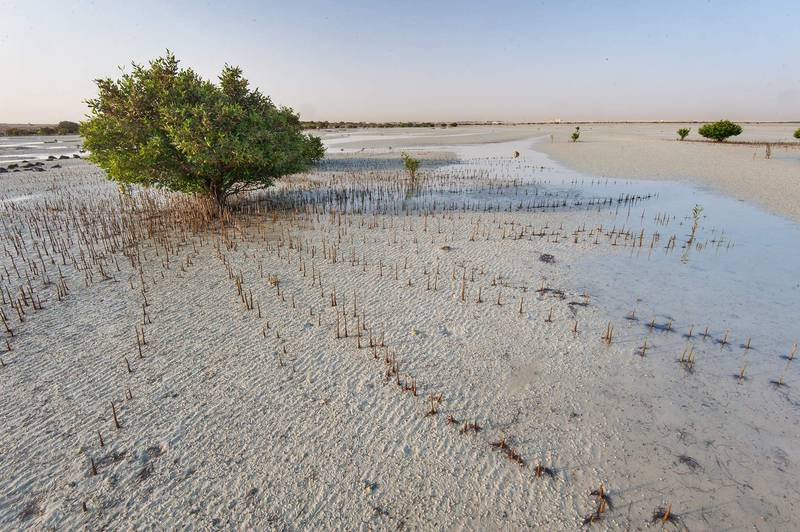Mangrove tree (Avicennia marina) surrounded by aerial roots (pneumatophores) at low tide near a fishing village of Al Jumail (Jumayl) west of Ruwais. Northern Qatar, June 26, 2015