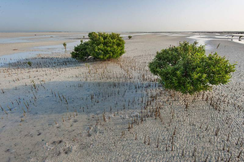 Grey mangroves (Avicennia marina) surrounded by aerial roots (pneumatophores) at low tide near a fishing village of Al Jumail (Jumayl) west of Ruwais. Northern Qatar, June 26, 2015