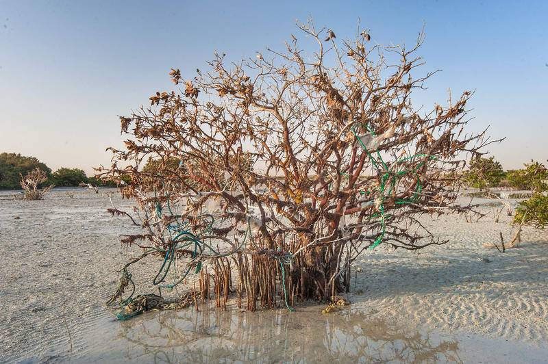 Dead mangrove tree (Avicennia marina) near a fishing village of Al Jumail (Jumayl) west of Ruwais. Northern Qatar, June 26, 2015