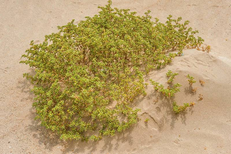 Tetraena qatarense (Zygophyllum qatarense, local name harm) in sand on roadside between Mesaieed and Al Wakra. Southern Qatar, July 4, 2015