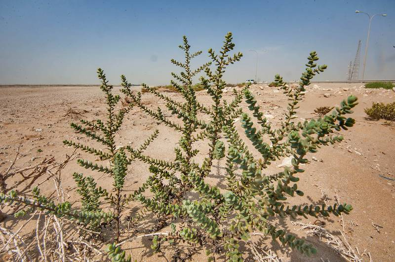 Bush of seablite (Suaeda vermiculata) on roadside between Mesaieed and Al Wakra in Southern Qatar, July 10, 2015