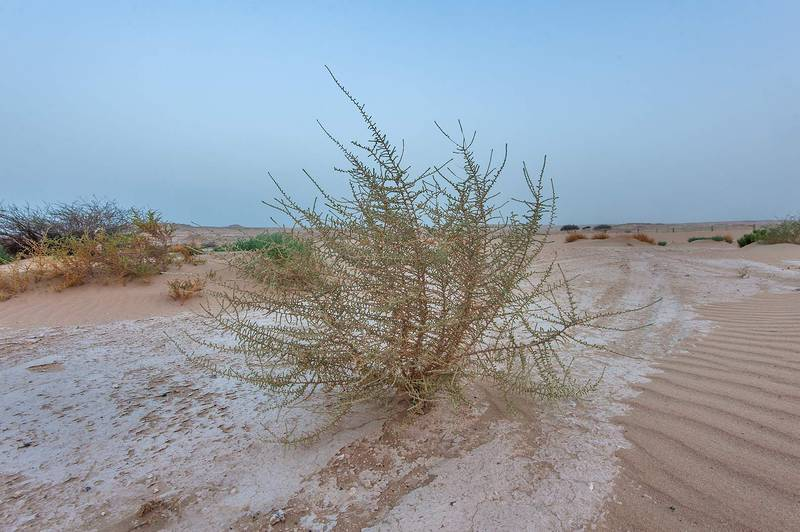 Bush of Salsola cyclophylla on roadside of Salwa Road in area of Khashem Al Nekhsh. Southern Qatar, July 11, 2015
