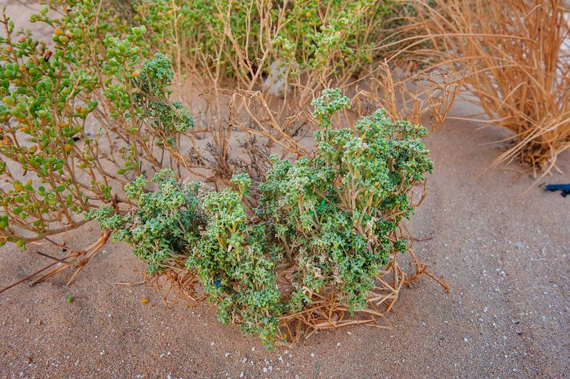 Malformed plant of Tetraena qatarense (Zygophyllum qatarense) on roadside of Salwa Road in area of Khashem Al Nekhsh. Southern Qatar, July 11, 2015