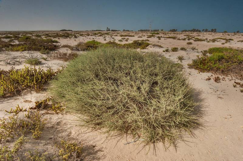 Large bush of Salsola cyclophylla in area of Al Hamala (Al Hamlah) water well near Umm Bab. South-western Qatar, July 11, 2015
