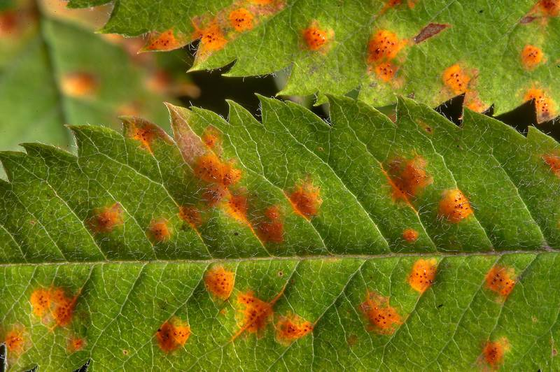 Orange spots on leaves of mountain ash caused by mountain ash-juniper rust fungus (Gymnosporangium cornutum) in Petiayarvi, north from Saint Petersburg. Russia, July 17, 2015