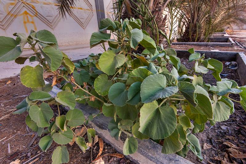 Velvetleaf (Abutilon pannosum var. figarianum) in area behind gas station on Al Sham Street in West Bay. Doha, Qatar, August 19, 2015