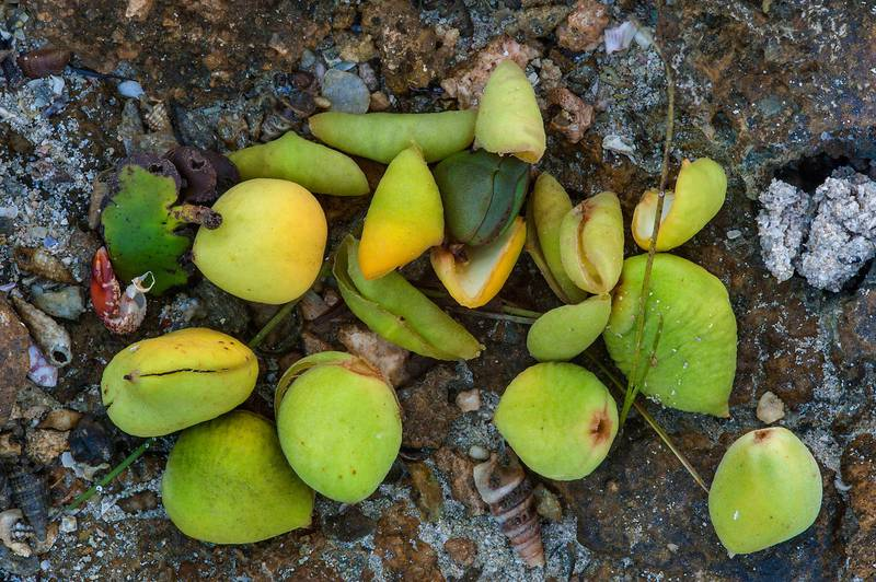 Green fruits of mangrove (Avicennia marina) washed out on beachrock of Purple Island (Jazirat Bin Ghanim). Al Khor, Qatar, August 29, 2015