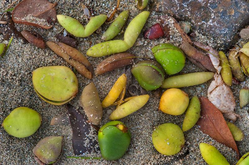Masses of germinating fruits of mangrove (Avicennia marina) washed out at high tide on Purple Island (Jazirat Bin Ghanim). Al Khor, Qatar, August 29, 2015