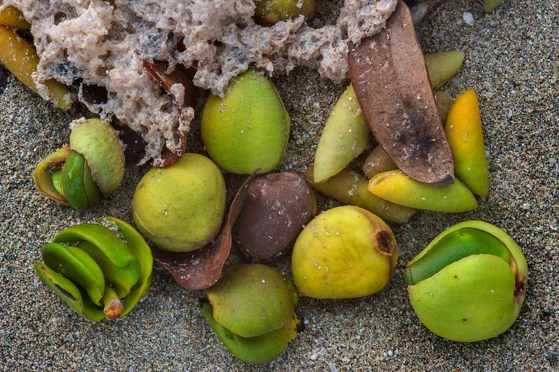 Leathery fruits of mangrove (Avicennia marina) washed out on a beach of Purple Island (Jazirat Bin Ghanim). Al Khor, Qatar, August 29, 2015