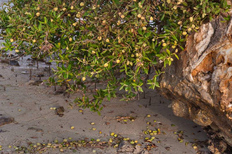 Mangrove (Avicennia marina) with fruits on Purple Island (Jazirat Bin Ghanim). Al Khor, Qatar, August 29, 2015