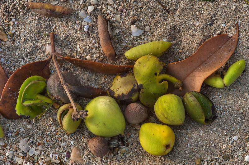 Fruits and dry twigs of mangrove (Avicennia marina) washed out on a beach of Purple Island (Jazirat Bin Ghanim). Al Khor, Qatar, August 29, 2015
