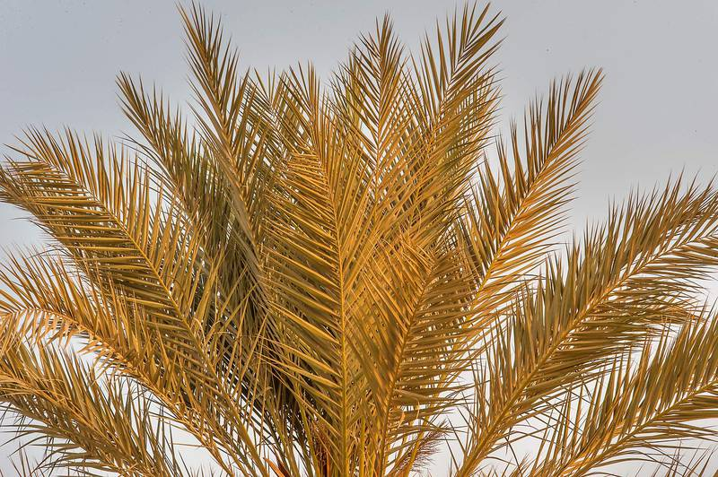 Fronds of a date palm (Phoenix dactylifera) on a beach in the area of Al Hamala (Al Hamlah) Water Well near Umm Bab. South-western Qatar, September 11, 2015