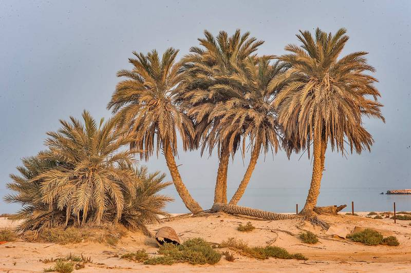 Group of date palms (Phoenix dactylifera) on a beach in the area of Al Hamala (Al Hamlah) Water Well near Umm Bab. South-western Qatar, September 11, 2015