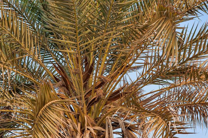 Leaves of a date palm (Phoenix dactylifera) on a beach in the area of Al Hamala (Al Hamlah) Water Well near Umm Bab. South-western Qatar, September 11, 2015