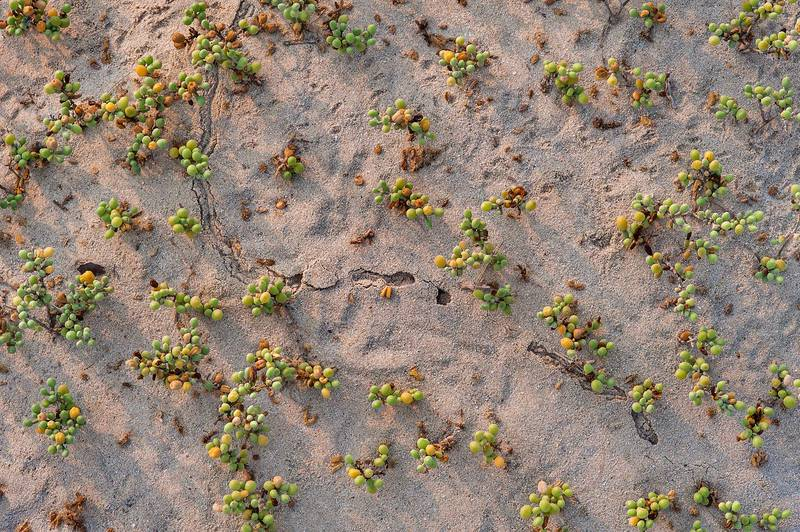 Plants of Zygophyllum qatarense in wind blown sand on a beach in the area of Al Hamala (Al Hamlah) Water Well near Umm Bab. South-western Qatar, September 11, 2015