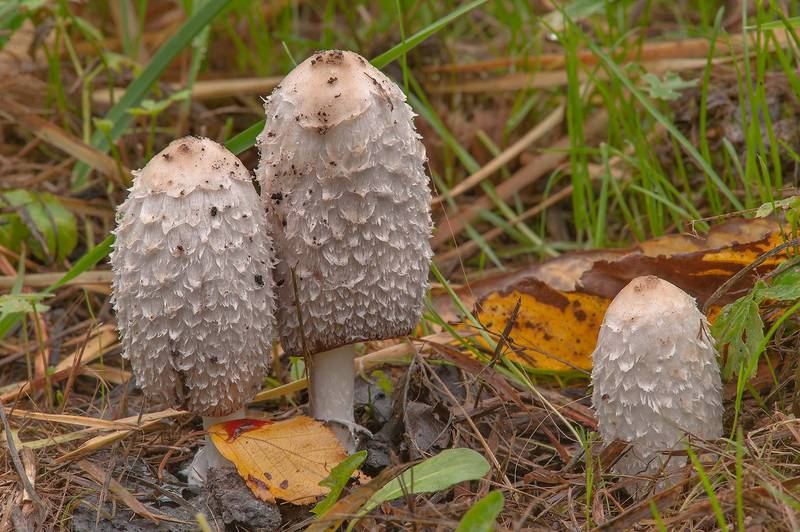 Group of shaggy ink cap (Coprinus comatus) mushrooms on a lawn in Botanic Gardens of Komarov Botanical Institute. Saint Petersburg, Russia, September 21, 2015