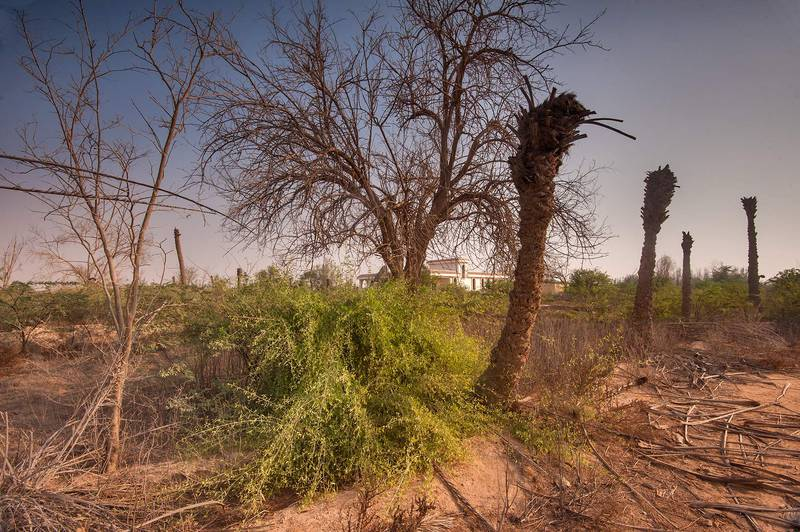 Toothbrush tree (Salvadora persica) in old garden in a village of Al Mashrab in area of Ras Laffan Farms. Northern Qatar, October 10, 2015