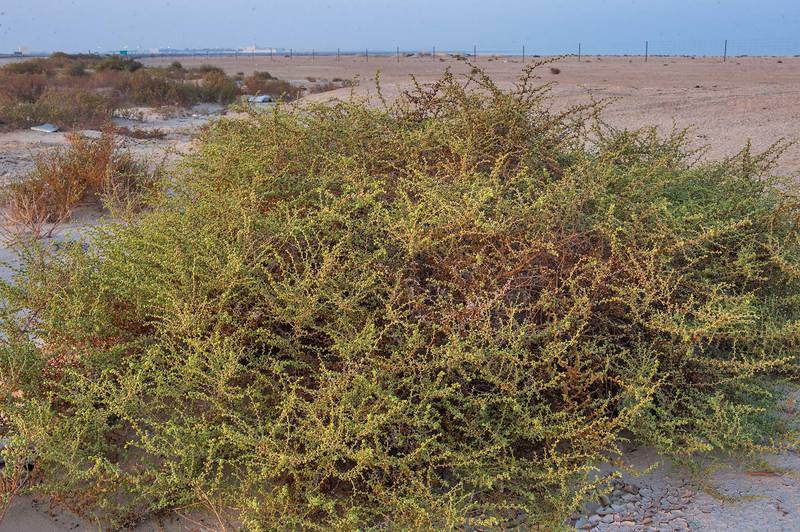 Large plant of Salsola drummondii on roadside of Salwa Road in Abu Samra, near the border. Southern Qatar, October 16, 2015