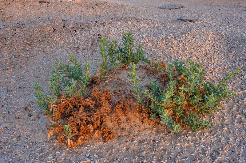 Almost dry plant of Bienertia cycloptera on roadside of Salwa Road in Abu Samra, near the border. Southern Qatar, October 16, 2015