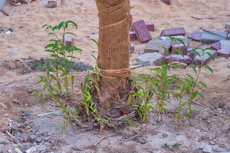 Plants of Nalta jute (Corchorus olitorius) growing under a palm tree on Ammouriya Street in Onaiza area. Doha, Qatar, October 19, 2015