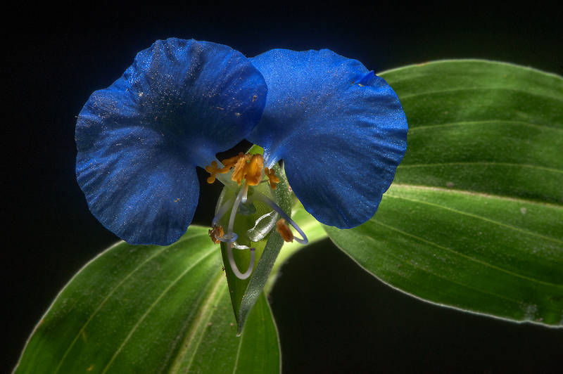 Benghal dayflower (tropical spiderwort, Commelina benghalensis) taken from a lawn under trees near HSM Villa on Al Eithar Street in Onaiza area near West Bay. Doha, Qatar, October 20, 2015