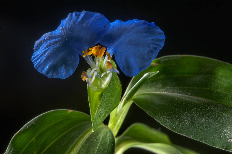 Blooming Benghal dayflower (tropical spiderwort, Commelina benghalensis) taken from a lawn under trees near HSM Villa on Al Eithar Street in Onaiza area near West Bay. Doha, Qatar, October 20, 2015