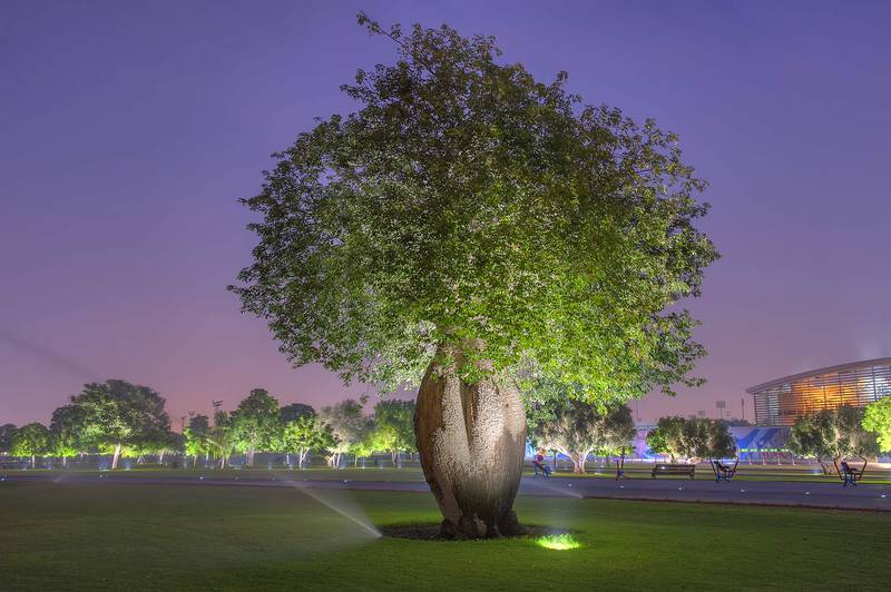 Silk floss tree (Chorisia speciosa, Ceiba speciosa, baobab family) in Aspire Park at morning. Doha, Qatar, October 22, 2015