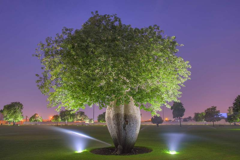 Silk floss tree (Chorisia speciosa, Ceiba speciosa, baobab family) in Aspire Park at dusk. Doha, Qatar, October 22, 2015