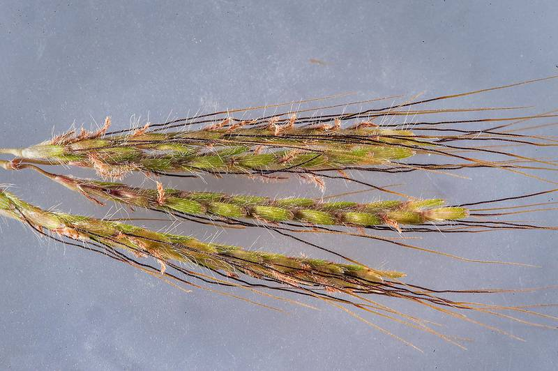 Spikelet of Hindi grass (Diaz bluestem, Dichanthium annulatum) in a silty depression on roadside of a road to Zubara, area of Al Magdah farms. Northern Qatar, October 24, 2015