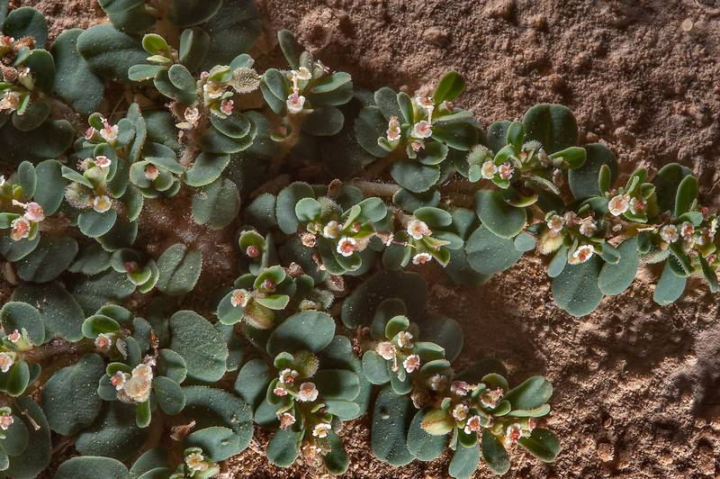 Prostrate desert spurge Euphorbia granulata in a silty depression on roadside of a road to Zubara, area of Al Magdah farms. Northern Qatar, October 24, 2015