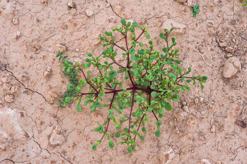 Seedling of Tetraena qatarense (Zygophyllum qatarense) with dark purple stem in a depression on roadside of a road to Zubara, area of Al Magdah farms. Northern Qatar, November 7, 2015