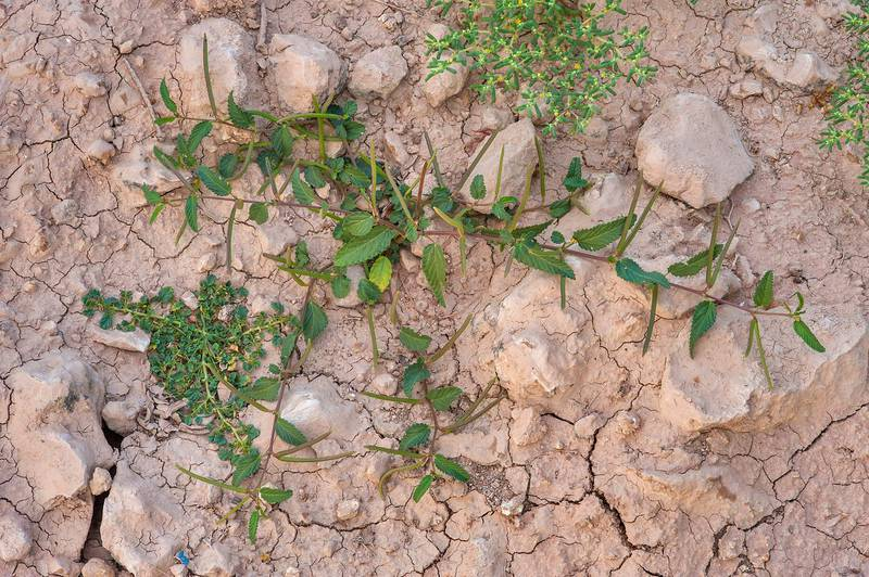 Wild jute (Corchorus trilocularis) growing together with Corchorus depressus in a depression on roadside of a road to Zubara, area of Al Magdah farms. Northern Qatar, November 7, 2015
