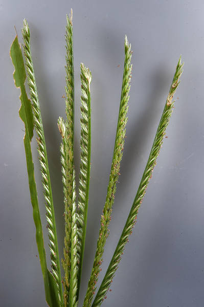 Spikelet of goosegrass (finger millet, Eleusine indica) on Green Circles (center-pivot irrigation) in Irkhaya (Irkaya) Farms. Qatar, November 13, 2015