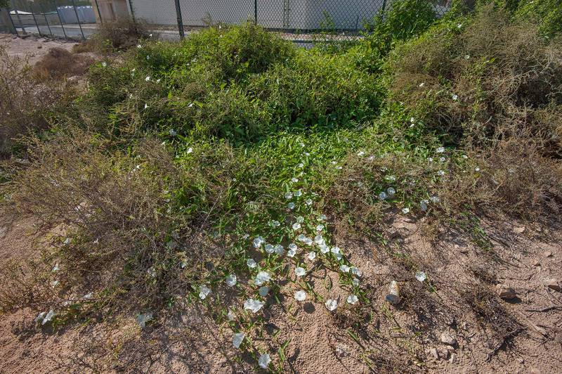 Habitat of water morning glory (water spinach, water convolvulus, Ipomoea aquatica) on northern corner of Housing Community near a hospital. Al Khor, Qatar, November 14, 2015