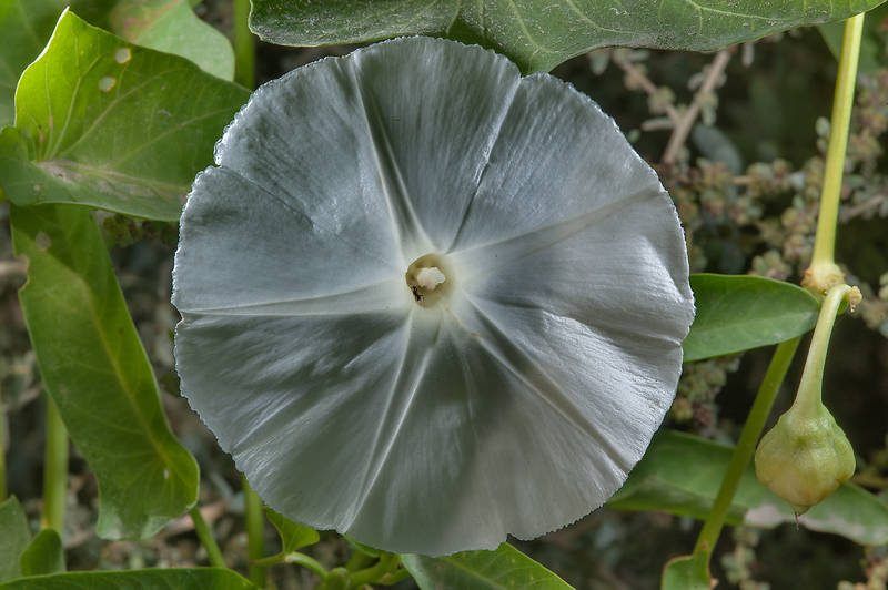 Close up of a white flower of water morning glory (water spinach, water convolvulus, Ipomoea aquatica) on northern corner of Umm Enaig Housing Community near a hospital (Jeri Al Ramli). Al Khor, Qatar, November 14, 2015