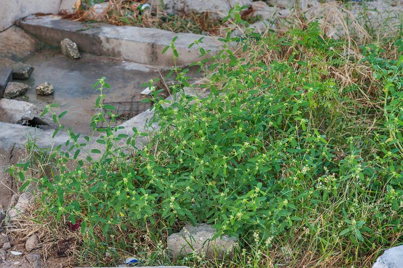 Plant of Sida spinosa (Sida alba) near a water outlet site between Al Eithar and United Nations streets in Onaiza area. Doha, Qatar, November 18, 2015