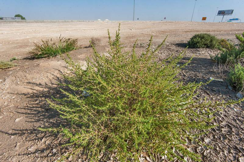 Common tumbleweed (Amaranthus albus) in a depression on roadside of Salwa Road near Mukaynis. Qatar, November 27, 2015
