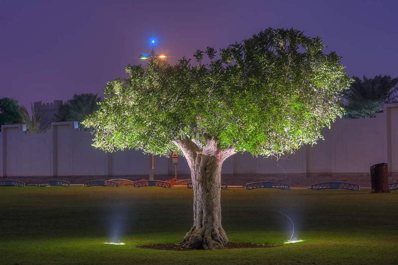 Carob tree (Ceratonia siliqua) in Aspire Park. Doha, Qatar, November 30, 2015