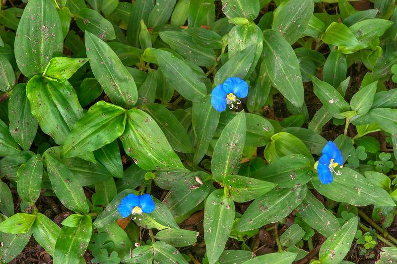 Flowers of Benghal dayflower (tropical spiderwort, Commelina benghalensis) on a lawn in shade near HSM Villa on Al Eithar Street in Onaiza area near West Bay. Doha, Qatar, December 1, 2015